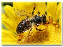 Honey Bee Education