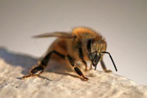 sick honeybee